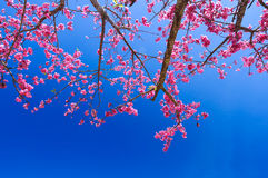 Pink sakura on road Stock Photo