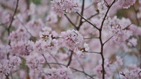 pink Sakura stock footage