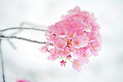 Pink sakura #6 Royalty Free Stock Image