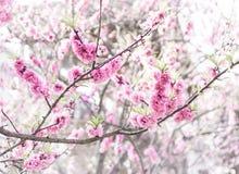 Pink Sakura Texture pattern Royalty Free Stock Photography