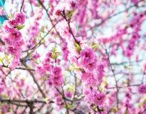 Pink Sakura Texture pattern Stock Photography