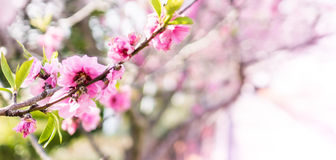 Pink Sakura Texture pattern Stock Photo