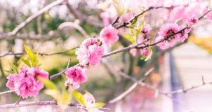 Pink Sakura Texture pattern Royalty Free Stock Photo