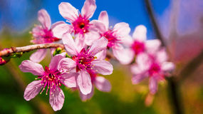 Pink Sakura Stock Photography