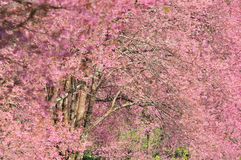 Pink sakura in Thailand Stock Images