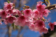 Pink sakura of Thailand. Close up pink cherry blossom on tree Royalty Free Stock Photography