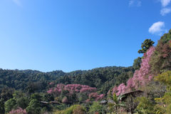 Pink sakura in thailand Royalty Free Stock Photo