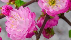 Pink Sakura Tree Flowers. stock video