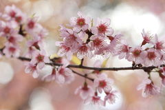 Pink sakura tree Royalty Free Stock Photo