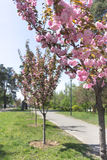 Pink sakura trees, japanese cherry. Pink sakura trees in park outdoors, japanese cherry Stock Image