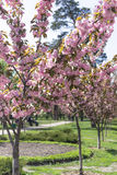 Pink sakura trees in park, japanese cherry. Pink sakura trees in park outdoors, japanese cherry Stock Images