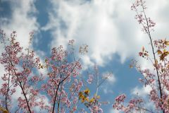 Pink Sakura trees. And sky background Royalty Free Stock Photo