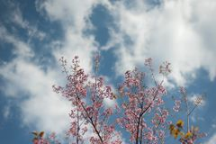 Pink Sakura trees. And sky background Royalty Free Stock Images