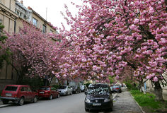 Pink sakura trees on the street of Uzhgorod, Ukraine. UZHGOROD, UKRAINE - APRIL 14, 2017: Blossoming pink sakura trees on the streets of Uzhgorod city Royalty Free Stock Image