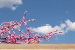 pink sakura Wild Himalayan cherry blossoms on branch and blue sk Royalty Free Stock Photos