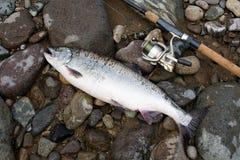 Pink salmon. Stock Image