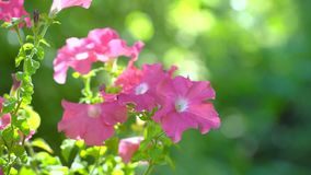 Pink salmon petunia flower. Pink petunias swaying in the breeze. Pink petunia garden flowers closeup being blown in the
