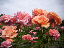 Pink and orange rose flowers Royalty Free Stock Photo