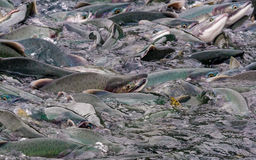 Pink salmon stacked up at the hatchery wier at Solomon Gulch Royalty Free Stock Photo