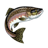 Pink Salmon. Vector drawing of fish pink Salmon Royalty Free Stock Image