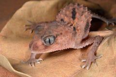 Pink Sand Gecko Stock Image
