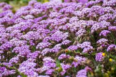 Pink Sand Verbena Abronia umbellata wildflowers blooming on the coast of the Pacific Ocean, Santa Cruz, California royalty free stock photography