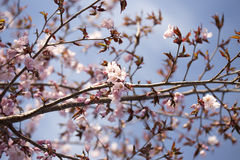 Pink Sargent Cherry Blossoms Royalty Free Stock Photography