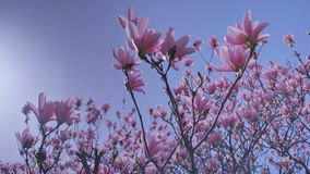 Pink Saucer Magnolia Under Blue Spring Sky. Medium low angle high dynamic range shallow depth of field panning shot of pink Magnolia x Soulangeana flowers during stock video footage