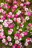 Pink saxifrage Royalty Free Stock Photography