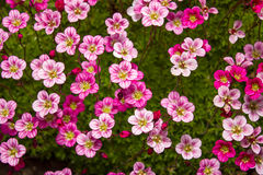 Pink saxifrage Royalty Free Stock Photos