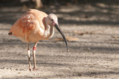 Pink or Scarlet Ibis Royalty Free Stock Photos