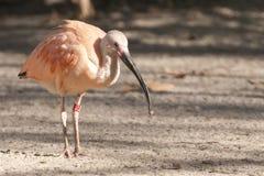 Pink or Scarlet Ibis Royalty Free Stock Photos