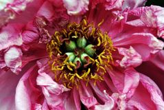 Pink-scarlet peony flower with yellow-green pestle close up macro texture detail, blurry petals. Background stock images
