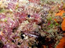 Pink Scorpionfish Fiji Stock Image