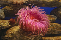 Pink sea anemone. Single pink sea anemone underwater with rocky background Stock Image