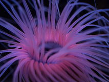 Pink Sea Anemone Stock Photography