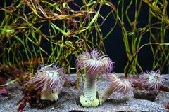 Pink sea anemones in a flowing current. Pink sea anomones in a flowing current with seaweed forest as the backdrop royalty free stock photography