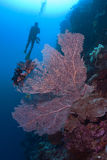 Pink Sea fan with diver silhouette Royalty Free Stock Images