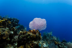 Pink sea fan highlights the sea scape during a scuba dive on the coral reef in the Caribbean Royalty Free Stock Image