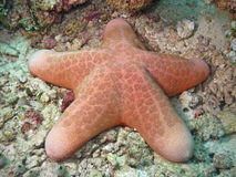 Pink Sea Star from Maldives. A big and pink sea star in deep water near a beautiful coral reef of Maldives Stock Images