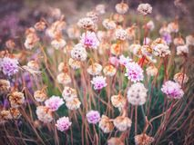 Pink Sea Thrift Flowers stock photos