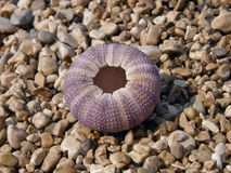 Pink sea urchin Stock Photography