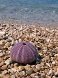 Pink sea urchin. Beauty pink sea urchin (cleaned without spikes), and stone on a  pebbles beach and crystal clear Adriatic sea. Vertical color photo Royalty Free Stock Image