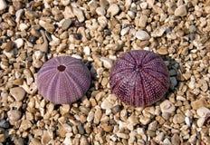 Pink sea urchins Stock Photos