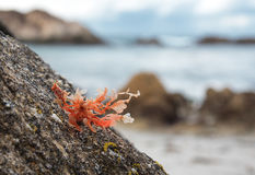 Pink seaweed on the rock Stock Photography