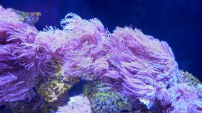 Pink seaweed vibrate in the aquarium water, marine life close-up stock footage