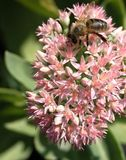 Pink sedum with bee. On top looking for polin stock photo