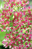Pink Sedum Flowers. A macro view of the pink flowers of Sedum sieboldii Royalty Free Stock Image