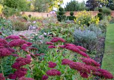 Pink sedum flowers in autumn, at Eastcote House historic walled garden in the Borough of Hillingdon, London, UK