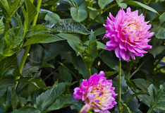 Pink Semi cactus dahlia flowers. Type of dahlia that is that is characterized by double blooms and very pointed ray florets Royalty Free Stock Photography